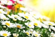 Free Field Of Daisies Royalty Free Stock Photos - 14221708