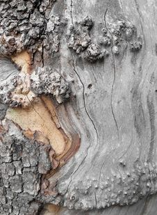 Free Sycamore Trunk Royalty Free Stock Photography - 14222907