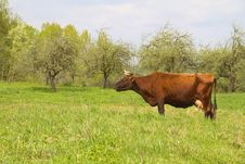 Free Cow On Spring Meadow Royalty Free Stock Image - 14222956