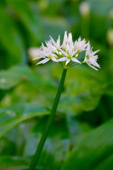 Free Wild White Flower, Shallow DOF Royalty Free Stock Photo - 14223175