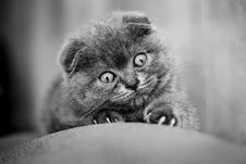 Free Scottish Fold Kitten Stock Photo - 14223950