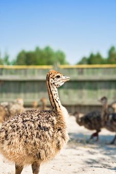 Free Young Ostriches Royalty Free Stock Image - 14224276