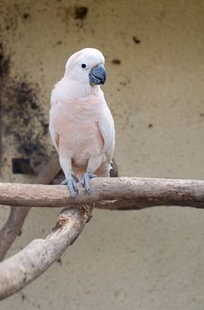 Free CACATUA MOLUCCENSIS Royalty Free Stock Image - 14224946