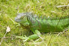 A Green Lizard Stock Photography