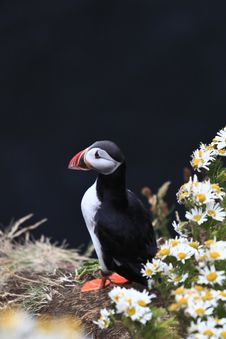 Free Atlantic Puffin Stock Photos - 14225643