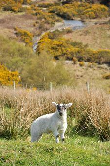 Free Newborn Lamb Stock Photos - 14226983