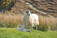 Free Sheep And Lamb Stock Images - 14227044