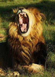 Free Lions Yawn Royalty Free Stock Image - 14227226