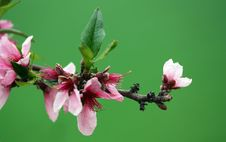 Free Peach Blooming Royalty Free Stock Photos - 14227928