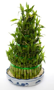 Free Bamboo Tree Stock Images - 14228534