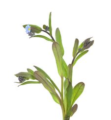 Free Field Forget-me-not (Myosotis Arvensis) Stock Photos - 14228603