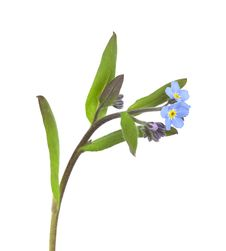 Free Field Forget-me-not (Myosotis Arvensis) Stock Images - 14228614