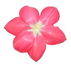 Free Petals Of Tulip As A Flower Stock Photo - 14228940