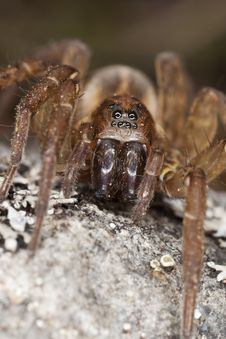 Free Hunting Spider On Rock. Royalty Free Stock Image - 14229116