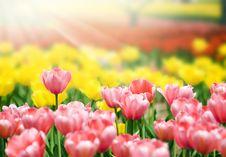 Free Tulips Royalty Free Stock Photo - 14229325