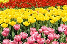Free Tulips Stock Photography - 14229362