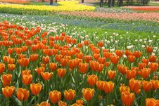 Free Flower Bed Of Beautiful Tulips Stock Photography - 14229482