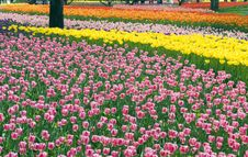Free Flower Bed Of Beautiful Tulips Royalty Free Stock Images - 14229579