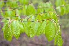 Free Spring Branch With New Young Leaves Royalty Free Stock Photography - 14229987