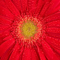 Free Red Gerbera Stock Photography - 14232262