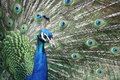Free Peacock Stock Image - 14232631