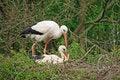 Free White Stork Couple Stock Photos - 14233573