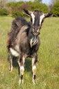 Free Funny Goat Grasing At Lawn Stock Photo - 14236630