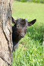 Free Funny Black Goatling Looking Out Of The Tree Stem Royalty Free Stock Images - 14236659