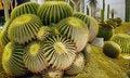 Free Big Golden Barrel Cactus. Stock Image - 14236671