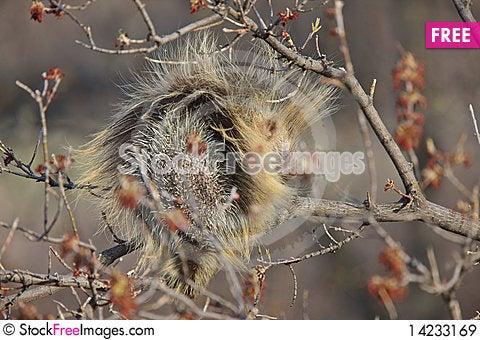Porcupine in tree Saskatchewan Canada Stock Photo