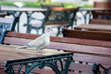 Free Dove On The Table Stock Images - 14230254