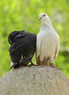 Free Two Wild Pigeons Sitting On A Stone Stock Image - 14230451