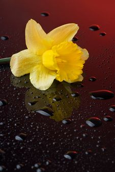Yellow Narcissus On Red Background Royalty Free Stock Photography