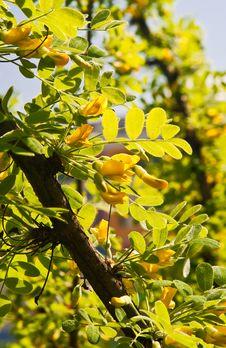 Free Blossoming Acacia Stock Photos - 14231133