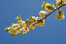 Free Branch Of A Blossoming Tree Stock Image - 14231141