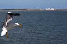 Free Seagull Royalty Free Stock Photo - 14231585