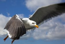 Free Seagull Stock Images - 14231854