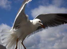 Free Seagull Stock Photo - 14232340