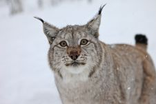Free A Male Lynx Stares Royalty Free Stock Photography - 14232527