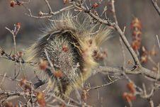 Free Porcupine In Tree Saskatchewan Canada Royalty Free Stock Images - 14233169