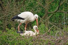 White Stork Couple Stock Photos