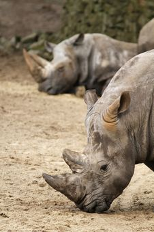 Free Rhino With In The Background Another One Sleeping Royalty Free Stock Photos - 14233748