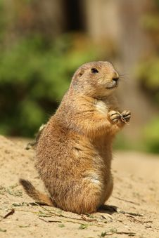 Free Cute Prairie Dog Standing Upright Stock Photos - 14233863