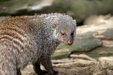 Free Banded Mongoose Stock Photography - 14234732