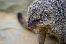 Free Banded Mongoose Stock Image - 14234751