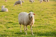 Free White Ewe Royalty Free Stock Images - 14234939