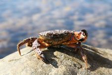 Free Attacking Crab Stock Photography - 14236122
