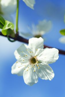 Free Cherry Flower Stock Photo - 14236230