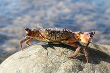 Free Attacking Crab Royalty Free Stock Images - 14236529
