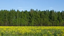 Free Spring Yellow Field. Royalty Free Stock Photography - 14236537